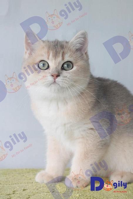 Một bé mèo Golden ny25 nhập Nga của Dogily Petshop giá khoảng 2.800 usd.