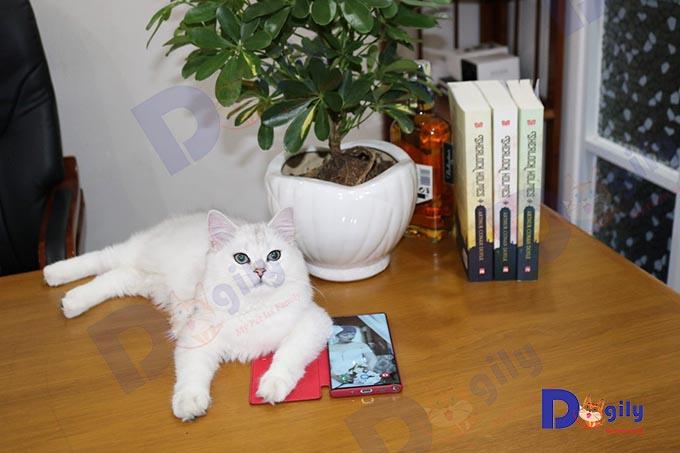 Ảnh: Mèo Anh lông ngắn màu Silver nhập khẩu Nga của Dogily Petshop.