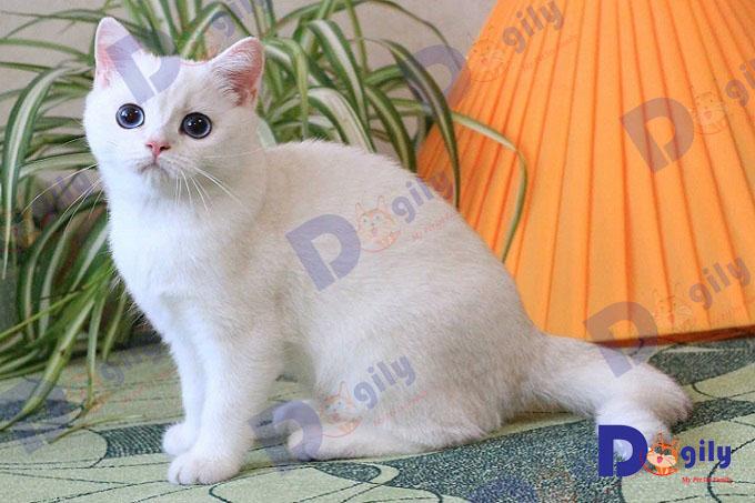 Mèo nhập khẩu nước ngoài (châu Âu, Thái Lan) hầu hết đều có phả hệ rõ ràng và có giấy chứng nhận của các hiệp hội uy tín như WCF, TICA...