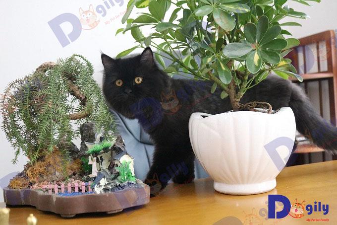 """Mèo Anh màu đen """"xấu lạ"""" nhà Dogily."""