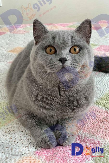 Mèo British shorthair đực giống nhập Nga của trang trại Dogily. Giá nhập khẩu mèo Aln xám xanh thuần chủng, phả TICA, WCF đẹp thường từ 2.800 -5.000 usd/bé.