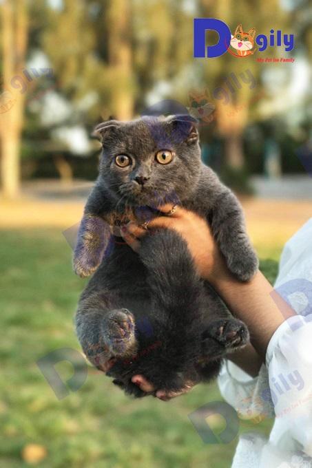 Ảnh: Hành - Chú mèo Scottish Double Fold màu xám đen tại trang trại mèo Dogily Cattery Đà Lạt.