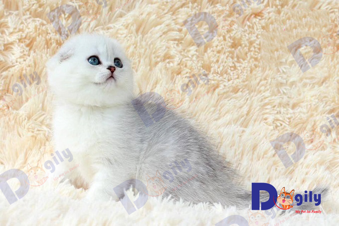 Là nhà nhập khẩu chó mèo lớn nhất Việt nam hiện nay, chúng tôi giúp bạn không lo lắng về các thủ tục nhập khẩu, hải quan, kiểm dịch và vận chuyển.Ảnh: một bé mèo Scotish Silver nhập khẩu từ Ucraina.