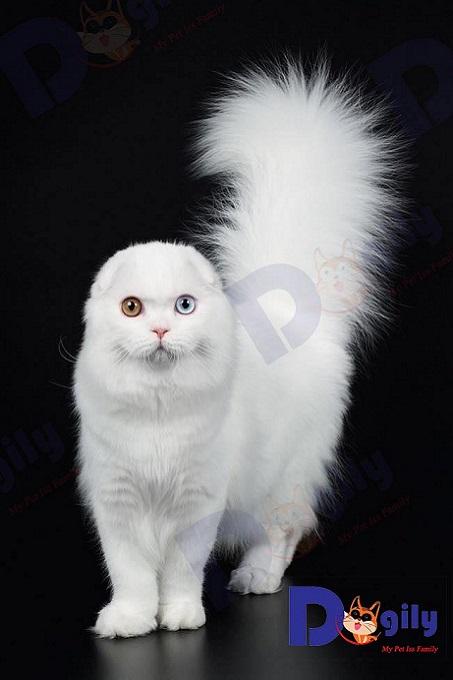Bé mèo tai cụp sát Scottish Triple Fold màu trắng tuyết cực hiếm được Dogily Petshop nhập từ Nga về tháng 10/2019.