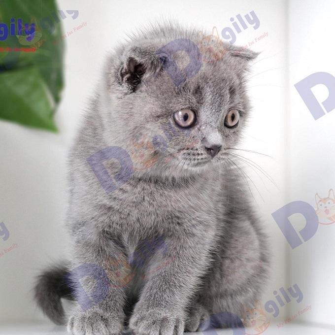 Giá mèo Scottish xám xanh cụp lửng tại Dogily Petshop dao động từ 8-10 triệu tùy ngoại hình từng bé.