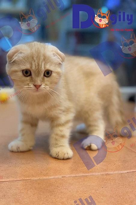 Chất lượng mèo Scottish thuần chủng nhập Thái Lan khá cao. Chúng tôi bắt đầu nhận order mèo tai cụp đẳng cấp về Việt Nam từ năm 2017.