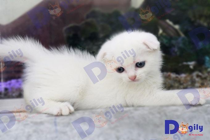 Siêu phẩm mèo tai cụp con màu trắng Triple Fold 2 tháng tuổi của Dogily Cattery.