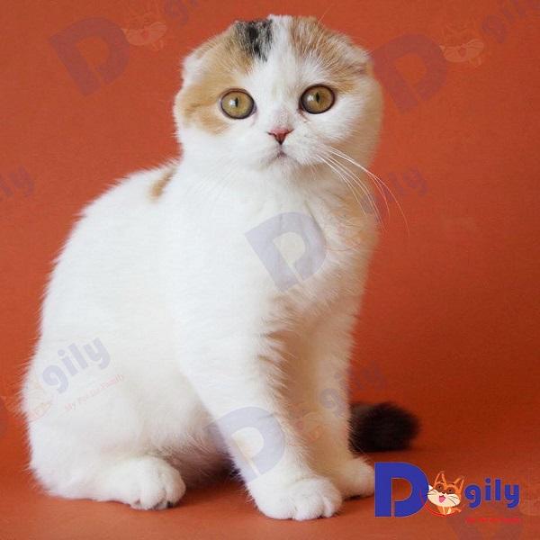 Ảnh một con mèo tai cụp Scottish Fold nhập Thái Lan của Dogily Petshop.