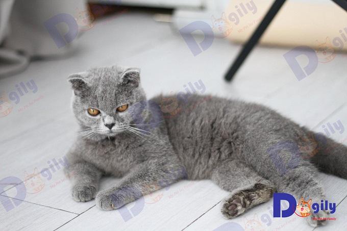 Chú mèo tai cụp lửng Single Fold tên Chanh. Hãy đến Dogily Petshop Quận 1 (HCM) để ôm anh chàng cute này nhé.