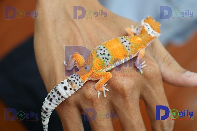 Thằn lằn Leopard Gecko có ngoại hình rất bắt mắt với màu da vàng rực rỡ
