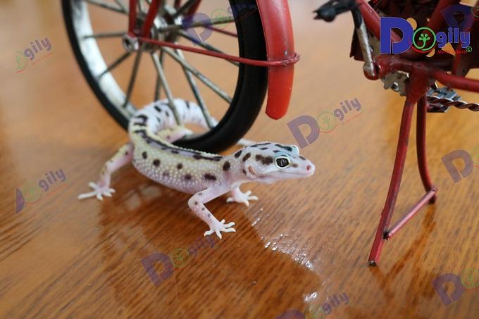 Ánh nắng mặt trời tự nhiên rất quan trong tới sự phát triển của Leopard Gecko.