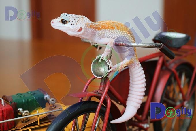 Ngoài côn trùng, bạn có thể cho Leopard Gecko xơi thịt xay với số bữa vừa phải.