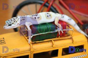 Thằn lằn da báo Leopard Gecko - Dogily Petshop