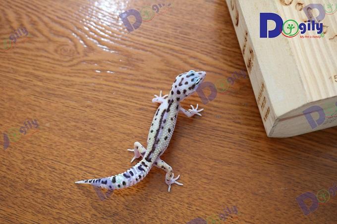 Toàn bộ thằn lằn da báo Leopard Gecko được Dogily Petshop bán ra đều được nhập trực tiếp từ Thái Lan.