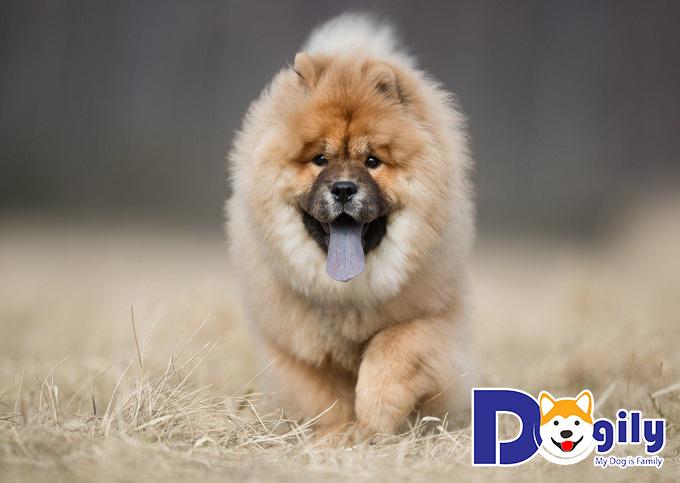Chow Chow là giống chó cổ đại