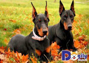 Chó Doberman tại Mỹ và Việt Nam