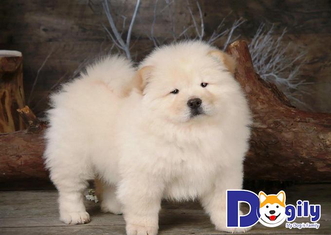 Chó Chow Chow có hung dữ không?