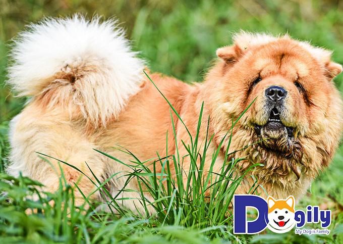 Chú gấu bông đầu tiên được tạo hình từ Chow Chow