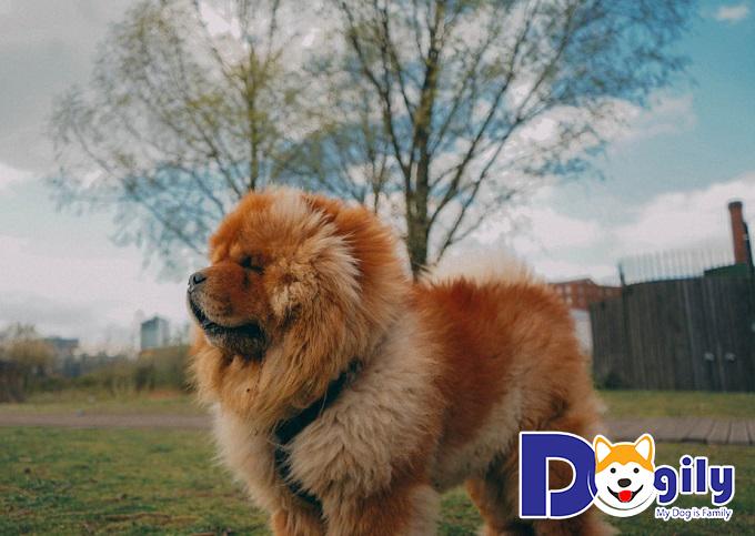 Các bệnh di truyền của chó Chow Chow
