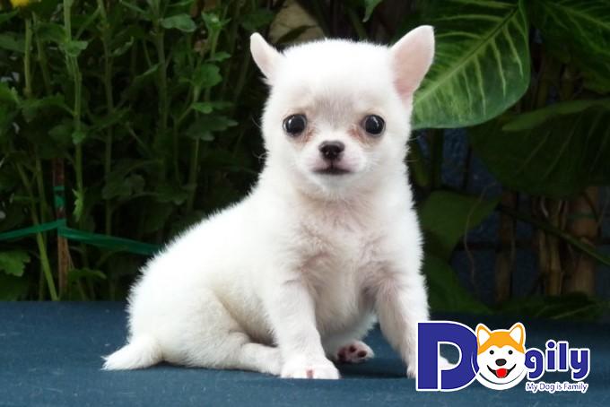 Bé Chihuahua lông trắng đáng yêu