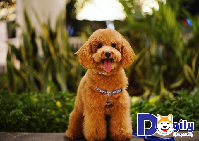 Bé Poodle sở hữu thân hình đáng yêu, thông minh và tinh nghịch
