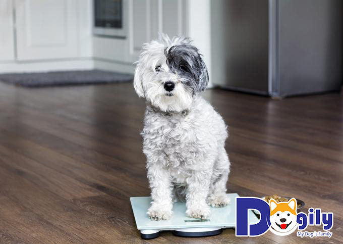 Bé chó Poodle sở hữu màu lông càng hiếm thì giá thành càng cao