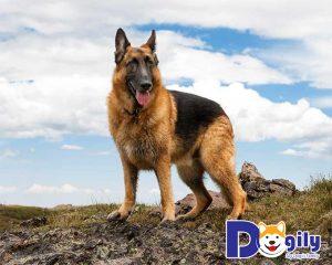 Becgie Đức là giống chó nghiệp vụ số 1 thế giới