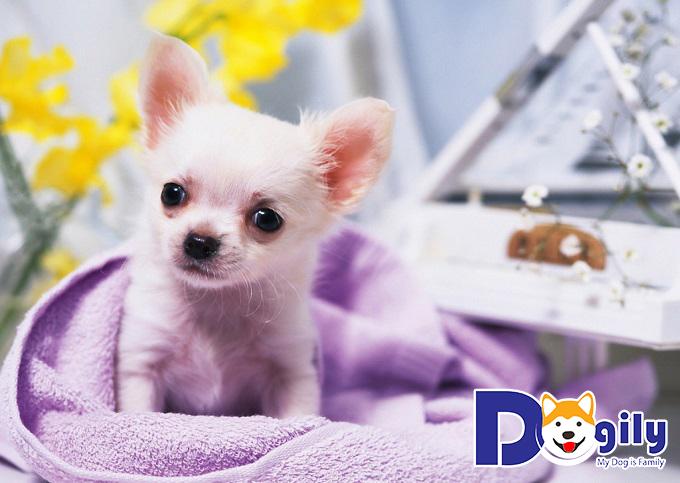 Bệnh viêm phế quản hay gặp ở chó Chihuahua