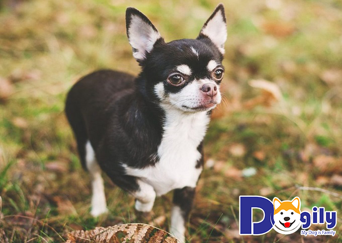 Các bệnh thường gặp ở chú chó Chihuahua