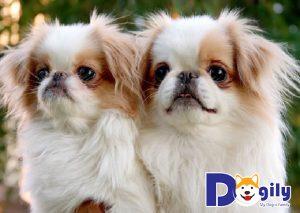 Các chú cún này dễ mắc phải bệnh hô hấp vào mùa đông