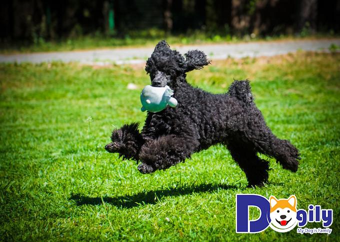 Các giống chó Poodle có giá bao nhiêu tiền?