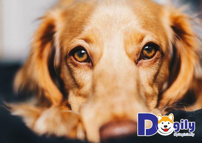 Các loại virus gây bệnh khiến chó cưng luôn trong tình trạng mệt mỏi
