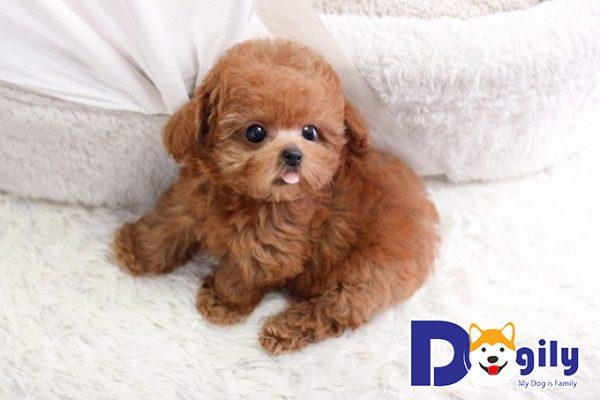 Cách huấn luyện chó Poodle 2 tháng tuổi
