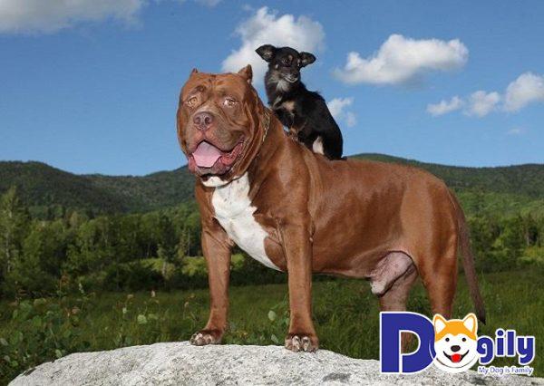 Cách nuôi chó Pitbull: Cung cấp đầy đủ protein trong khẩu phần ăn của Pitbull