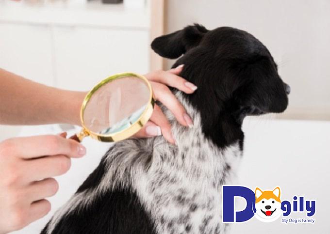 Cách trị ve chó hiệu quả không phải ai cũng biết