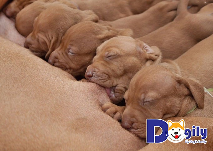 Cần nhớ ngày phối giống để xác định thời gian các bé cún con ra đời