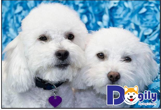 Câu chuyện về hai chú chó Poodle Cola và Pepsi