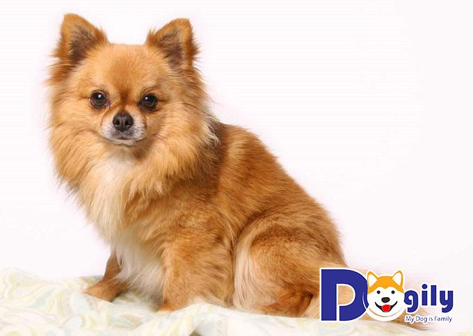 Chăm sóc chó Chihuahua lông dài
