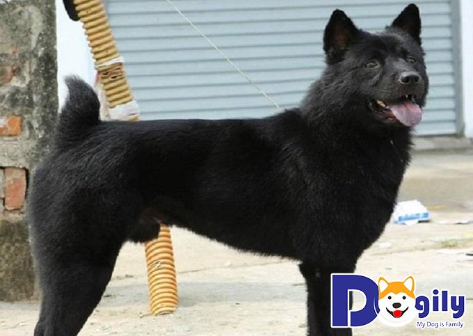 Chăm sóc sức khỏe, chế độ dinh dưỡng hợp lý sẽ giúp chó Mông Cộc phát triển tốt trong tương lai
