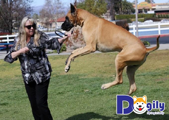 Chia sẻ kinh nghiệm nuôi và chăm sóc chó Great Dane dành cho những người mới lần đầu nuôi
