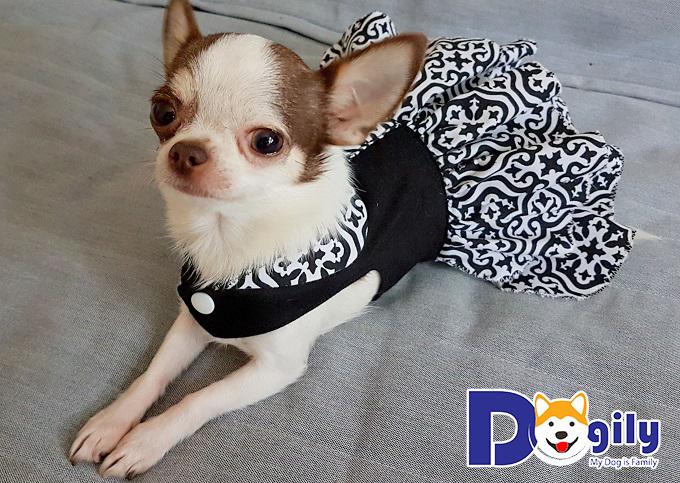 Chihuahua hay gặp vấn đề về xương khớp