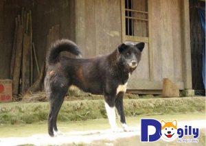 Chó Bắc Hà xuất hiện ở Việt Nam từ khá sớm, có nguồn gốc từ vùng núi cao Tây Bắc