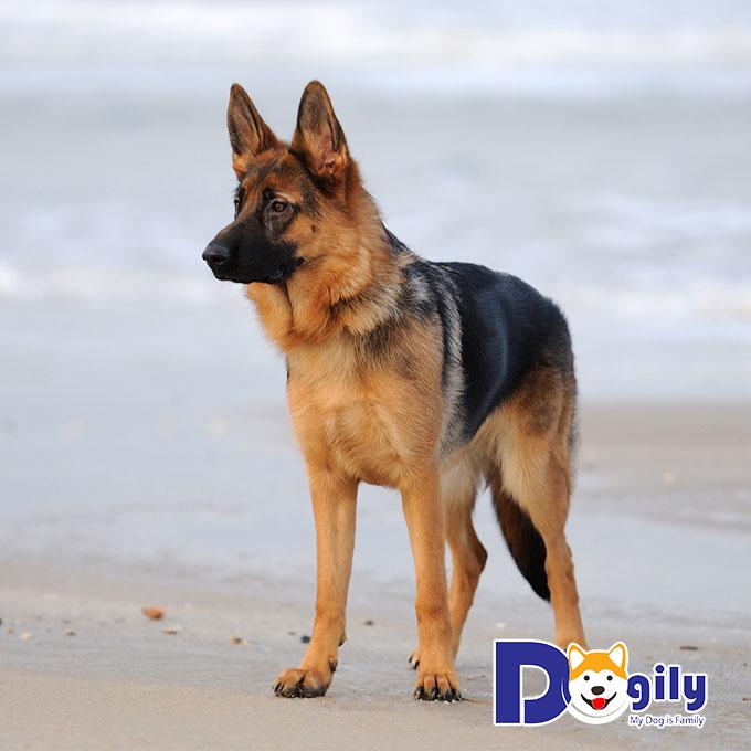 Chó Becgie có thân hình săn chắc