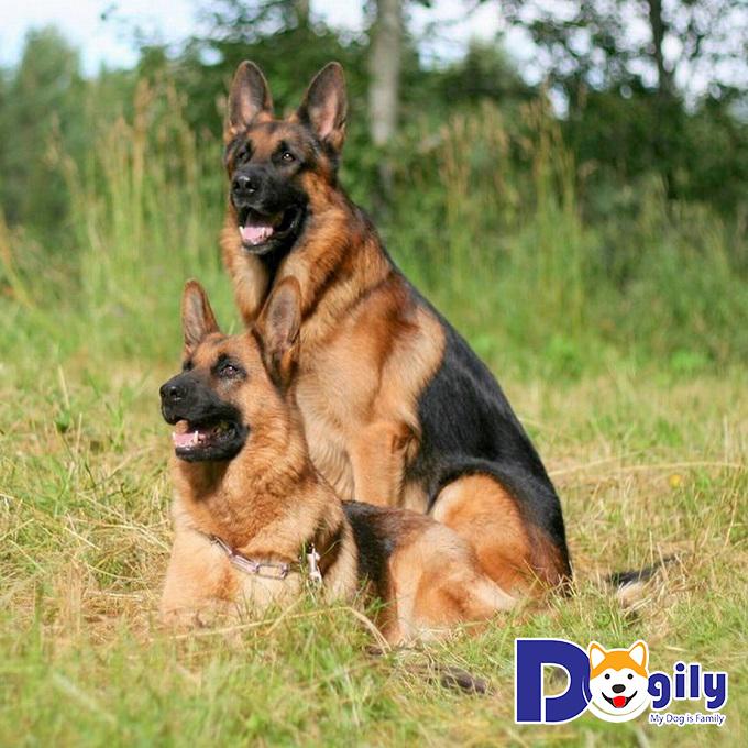 Chó Becgie lông đen - vàng