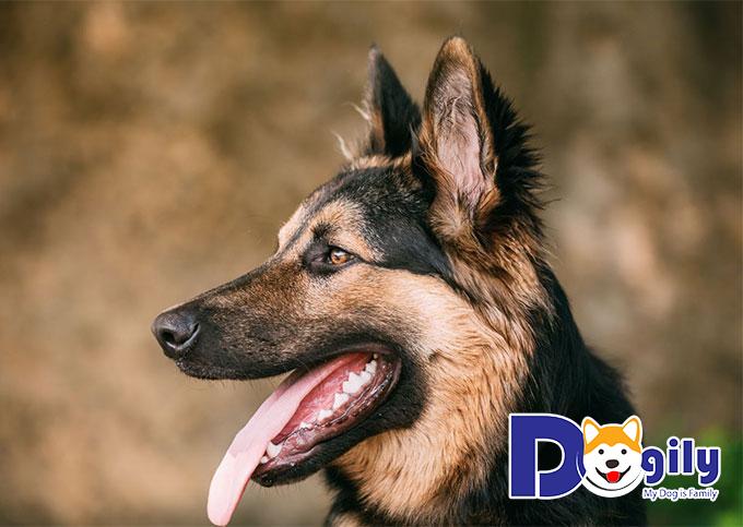 Chó Becgie lưỡi màu hồng và không có đốm
