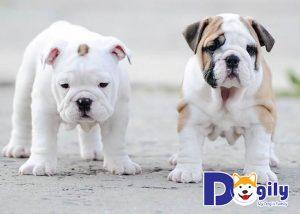 Chó Bulldog Anh giá rẻ hơn tầm 2 đến 4 triệu so với dòng Bulldog Pháp