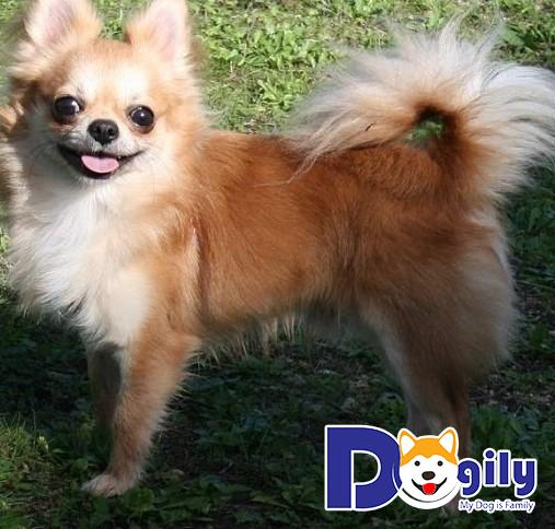 Chó Chihuahua có nguồn gốc từ Mexico