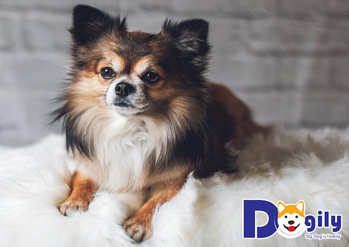 Chó Chihuahua lông dài có giá rẻ hơn lông ngắn