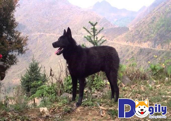Chó H'mông cộc đuôi có thân hình cuồn cuộn, chắc khỏe với các tỉ lệ vàng