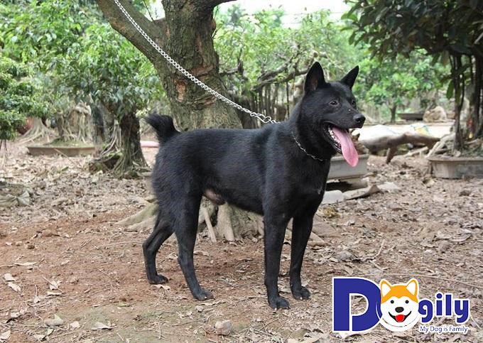 Chó H'mông cộc đuôi có tính cách nhanh nhạy, thông minh và dè chừng với kẻ lạ